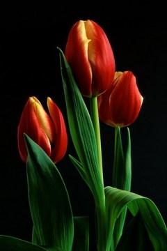 http://tiendq.files.wordpress.com/2007/10/tulip3_std1.jpg